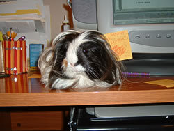 Oreo the guinea pig, loved by Alexandra Chan